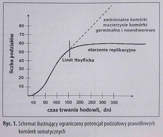 Limit hayflicka czyli jak starzeją się komórki?